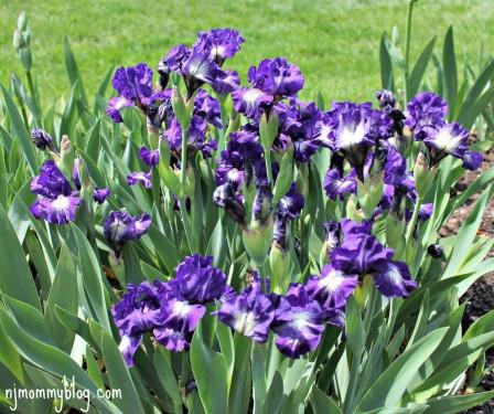 Iris Gardens Montclair