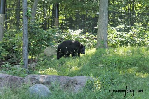 Black bear zoo exhibit